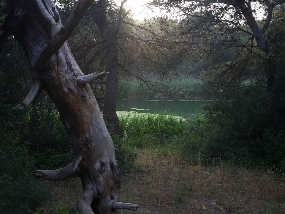 Pino di Lenne, qui si trova il pino d'Aleppo più antico d'Europa
