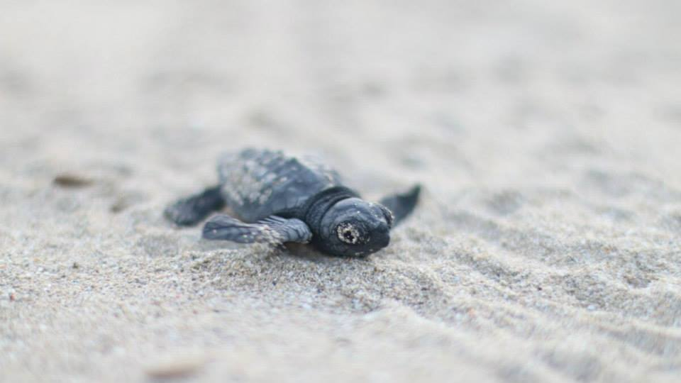 Piccole tartarughe nascono e commuovono Taranto