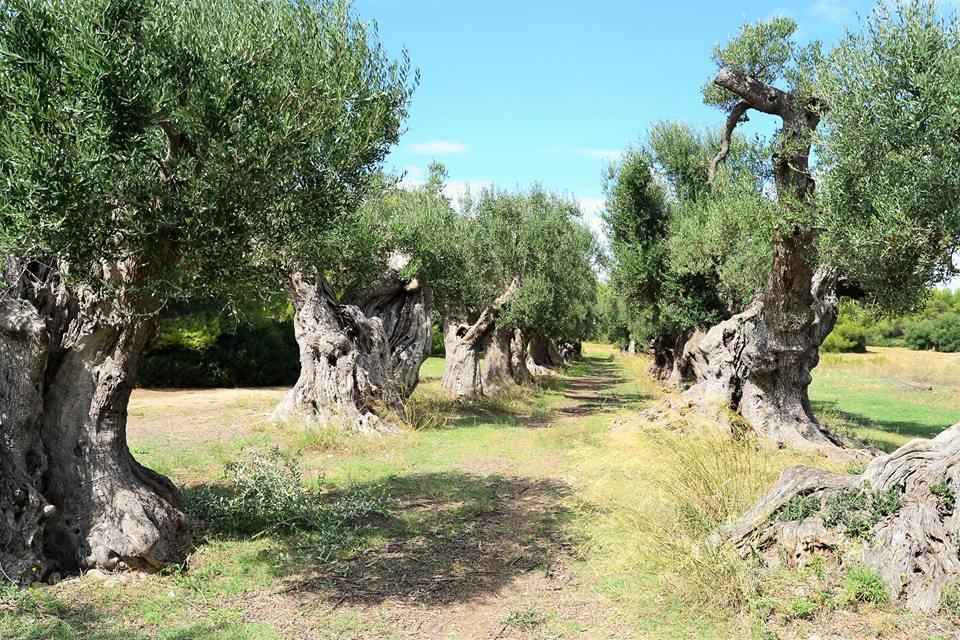 Ulivi millenari di Taranto: i giganti della storia da Crispiano a Manduria